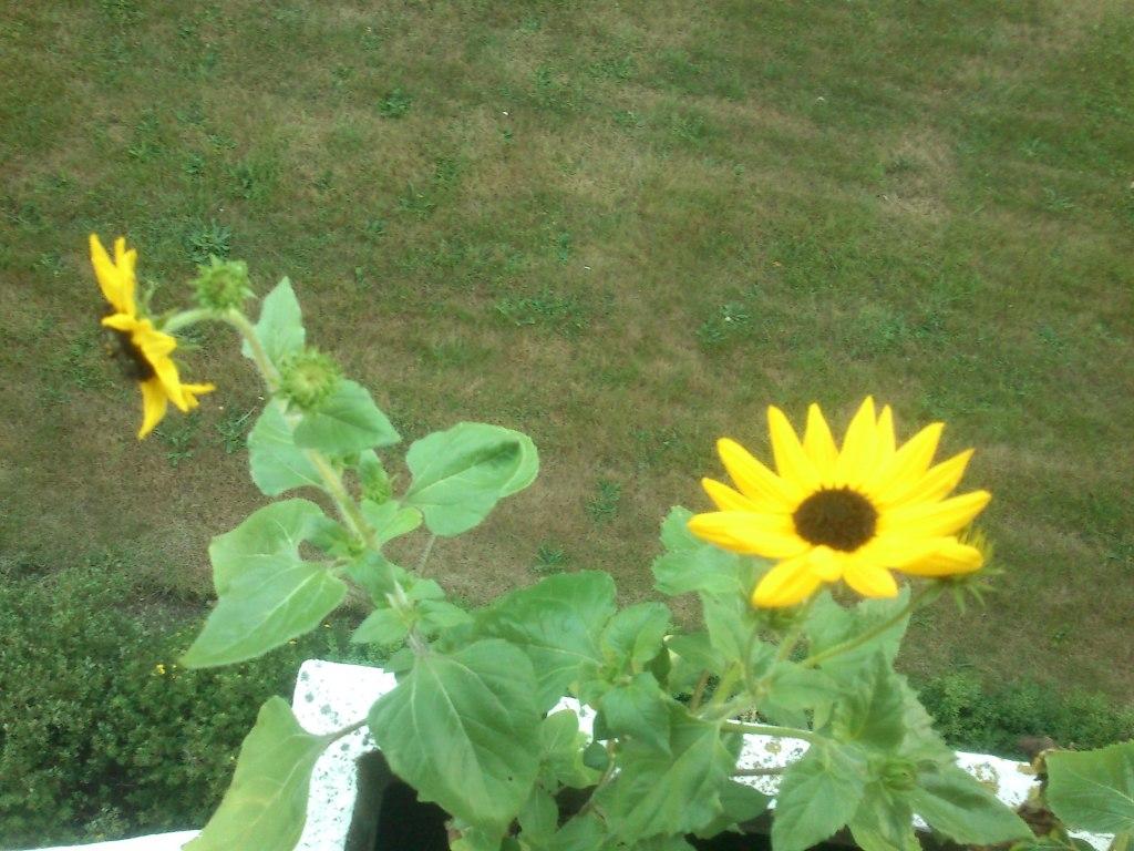 Retaderede solsikker!
